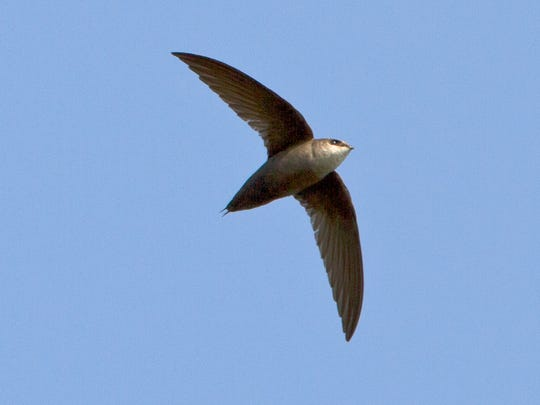 """Chimney swifts, also known as """"flying cigars,"""" have lost places to nest and roost as more and more chimneys are covered or made of metal."""