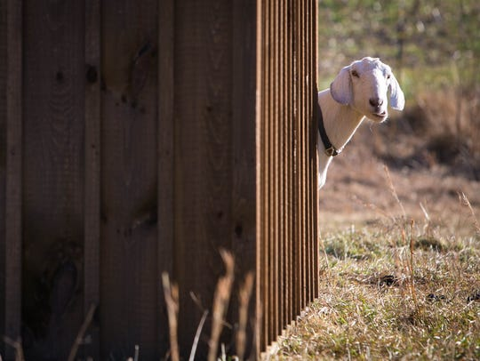 Arctic the goat peeks around a shed. Green Grazer Goats
