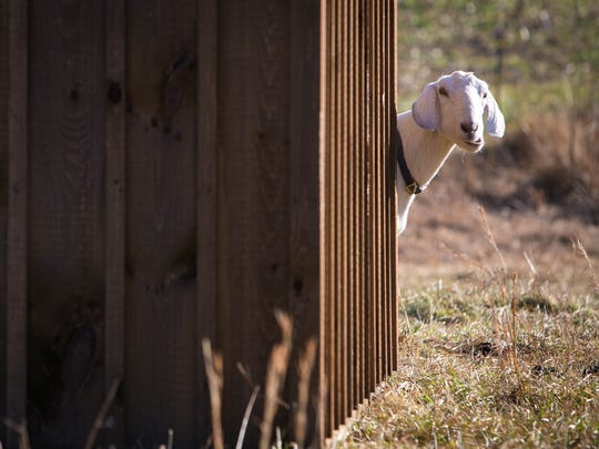 Arctic the goat peeks around a shed. Green Grazer Goats is a startup with Delaware ties that uses eco-friendly goats as a land-clearing business. The company recently won a pitch competition at the Emerging Enterprise Center on the Wilmington riverfront that earned them $22,000 in prizes.