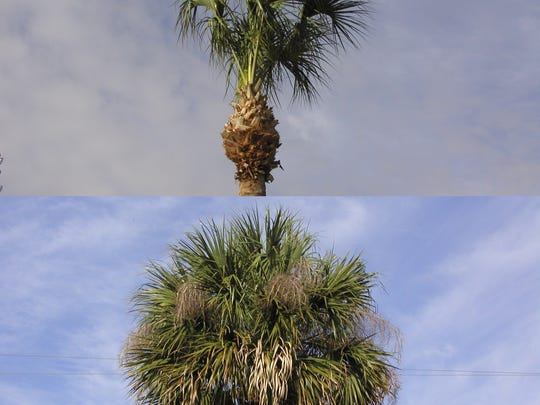 Top: An overpruned sabal palm. Bottom: A natural, healthy