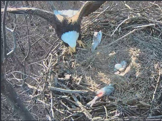 A bald eagle watches its first chick of the season