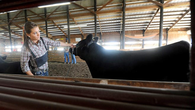 Macy Lynch, 16 of Shelby, shows her animal Wednesday morning at the Richland County Fair during theBeef Breeding Showmanship competition.