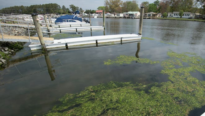 View of green algae next to a boat dock at Love Creek Marina in Lewes.