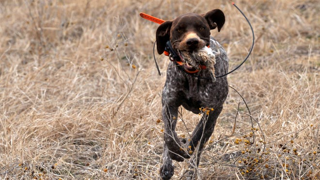Dallas, a German shorthair pointer owned by Jonathan Williams of Midland, carries a quail in Saturday Feb. 10, 2018 during the 29th annual Big Country Celebrity Ultimate Hunt. The quail hunt benefits Disability Resources, Inc.