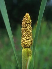 Cover in yellow pollen, the cattail signals it is time