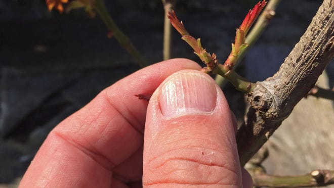 Remove two of the side buds to ensure better and bigger roses in the spring