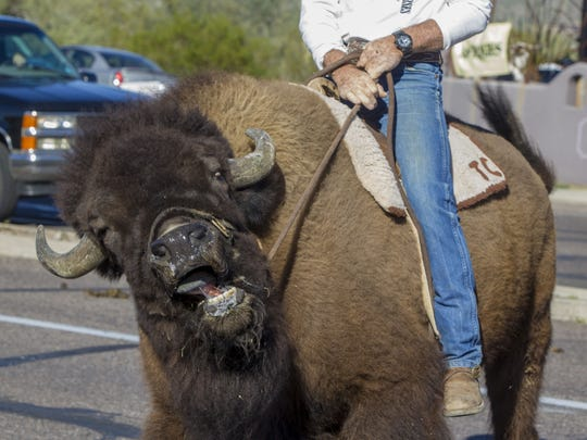 A participant from H and H Hogs and Horses rides a buffalo in the Wild West Days Parade in Cave Creek on Saturday, Nov. 7, 2015. The parade was part of a three day event, celebrating Arizona's western culture.