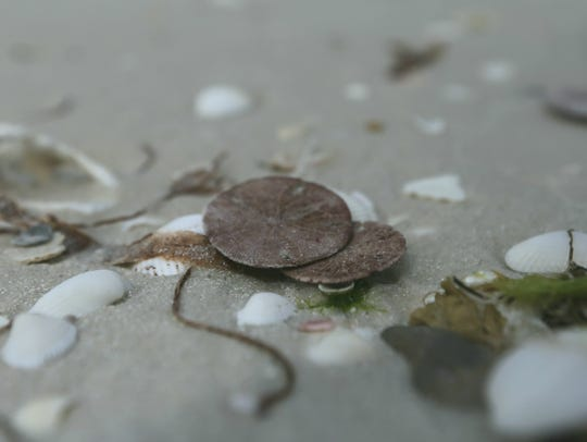 Dead sand dollars have been spotted on Bonita and Barefoot