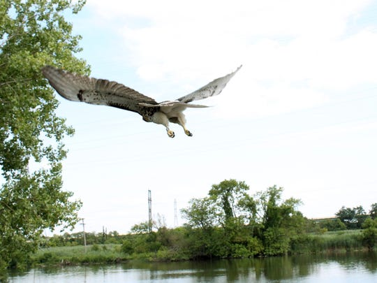 Tri-State Bird Rescue releases the young red-tailed hawks rescued from I-495 bridge into the wild on Friday.