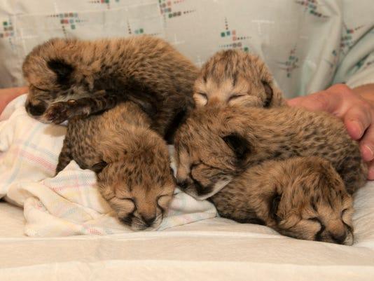 635938948563447391-cheetah-cubs.jpg