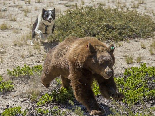 Bear dogs play major role in NDOW bear program