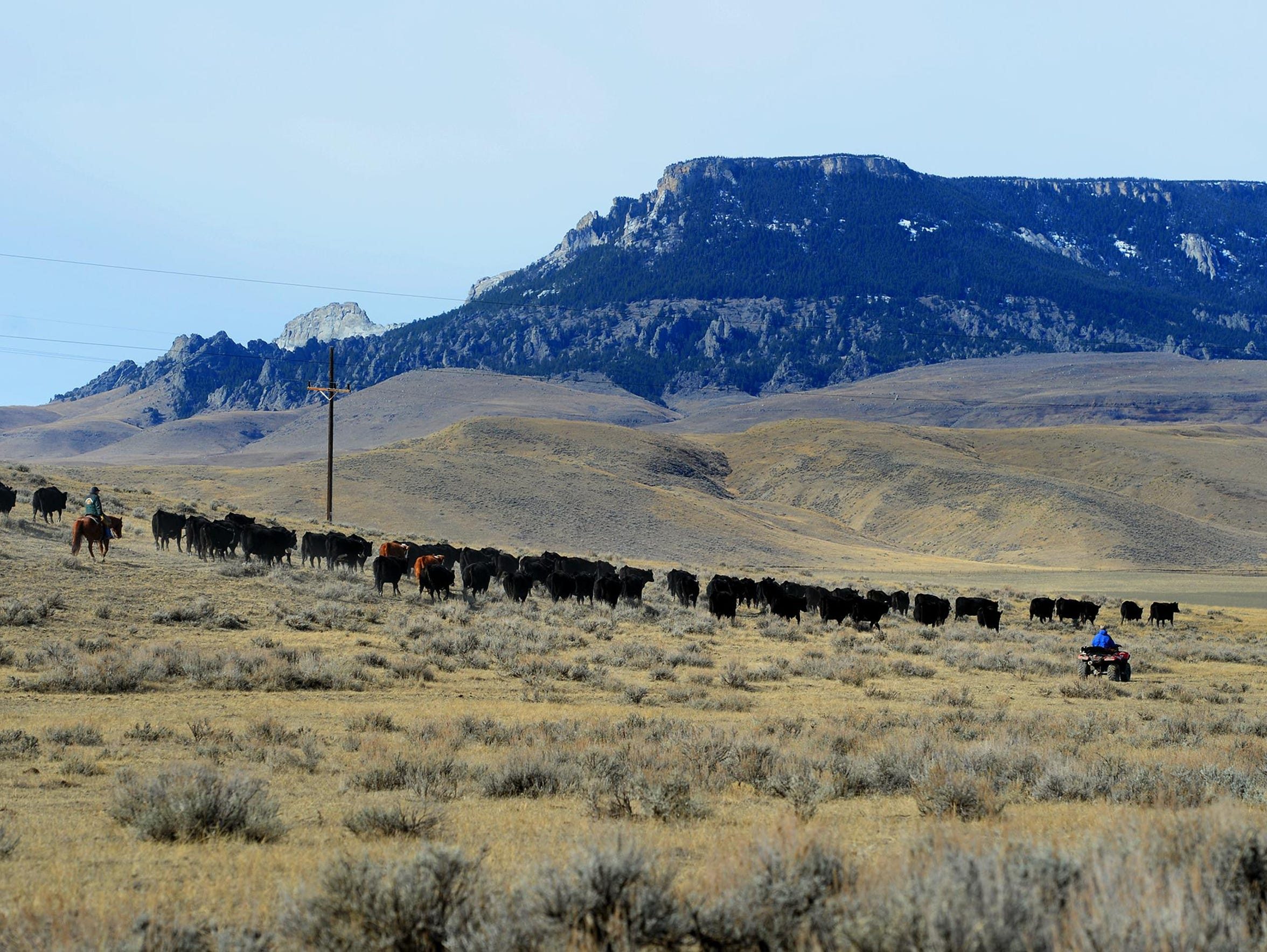 Ranchers move cattle for calving on the Meissner Ranch