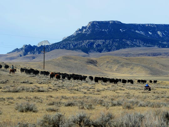Ranchers move cattle for calving on the Meissner Ranch at the foot of Square Butte between Stanford and Geraldine.