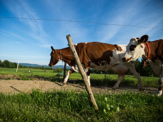 Ayrshire cows walk to the pasture after an evening