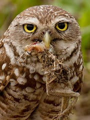 Saturday's Burrowing Owl Festival honors the City Cape Coral's official bird.