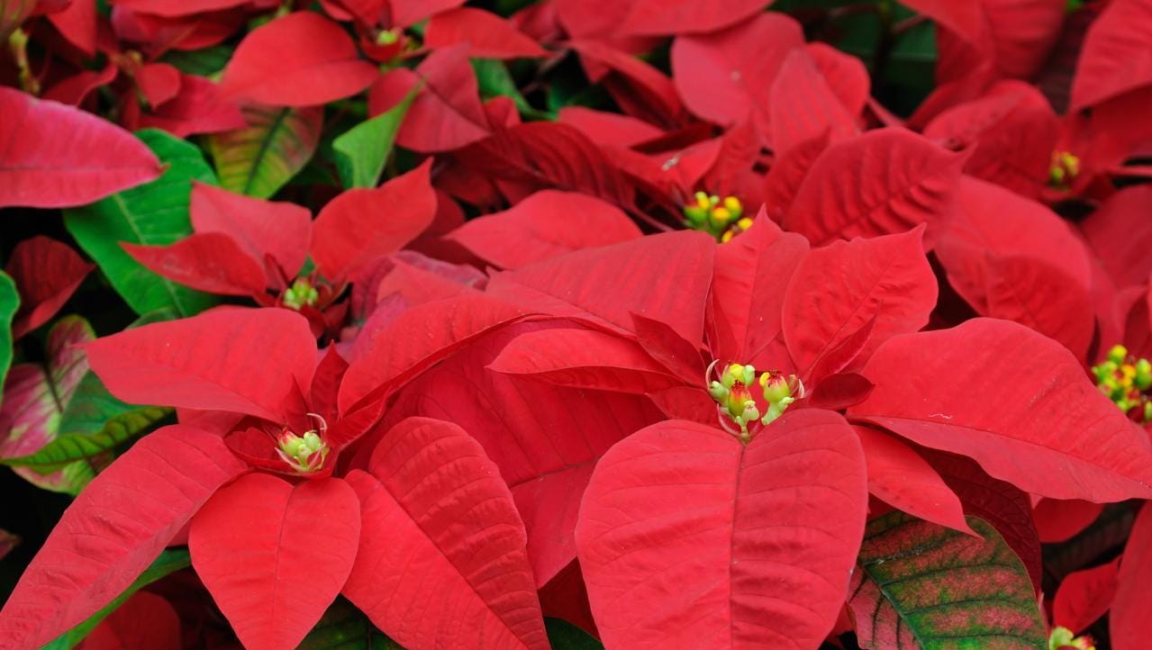 History And Care Of Poinsettias