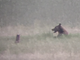 A coyote isn't pleased with the arrival of a grizzly bear at Benton Lake National Wildlife Refuge 13 miles north of Great Falls.