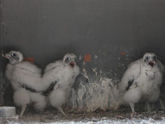 Peregrine falcon chicks make loud noises as they see