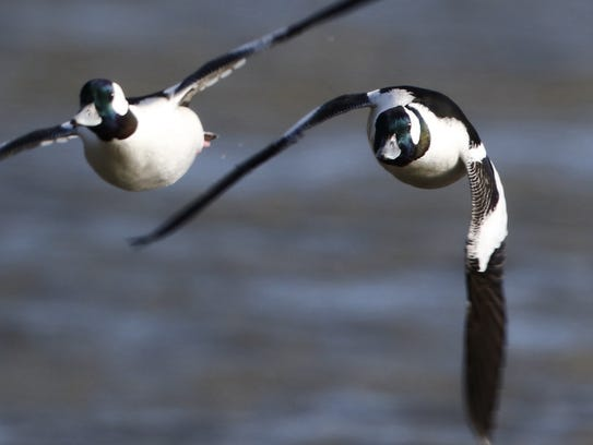 Buffleheads are a winter attraction at DeKorte Park.