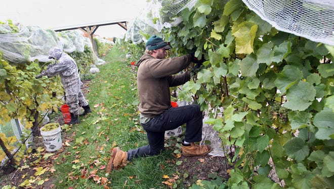 In a file photo from Oct. 21, 2014, Jose Luis, left, and Patrick Rigan harvest chardonney grapes on at Brys Estate on Old Mission Peninsula in Traverse City, Mich.
