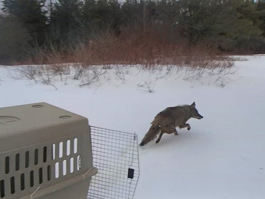 A coyote was found Tuesday, March 27, 2018, near the