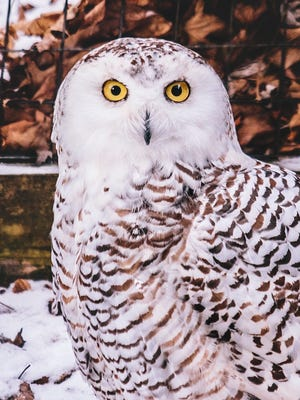 Hedwig the Snowy Owl at Binder Park Zoo