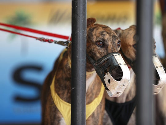 Greyhounds are brought out to the track for a race at the Sanford Orlando Kennel Club in Longwood on April 20.  An amendment Florida voters approved in the general election ends live greyhound racing in the state.