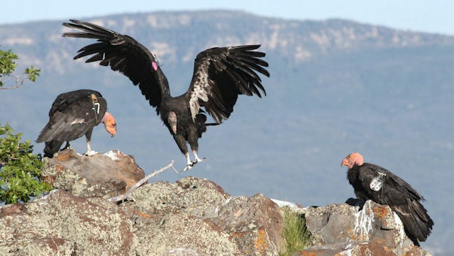 Push Made To Prevent Lead Poisoning In California Condors