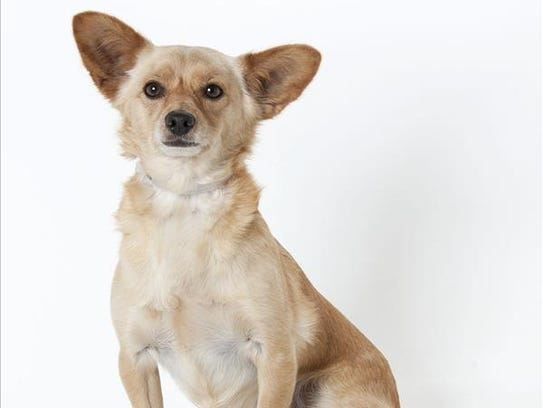 Arnold, a 5-year-old male Chihuahua/Corgi mix dog.