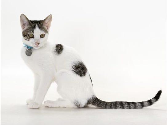 Jazz, 4-month-old female domestic short hair kitten.