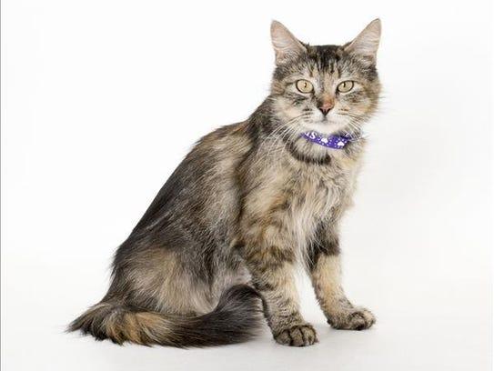 Tiger, 4-year-old female domestic medium hair cat.