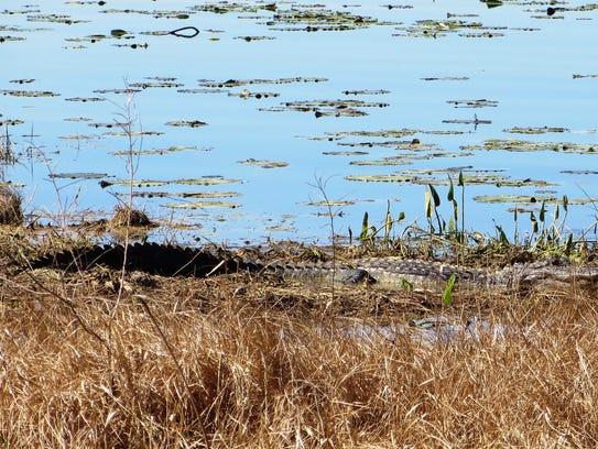 Lake Jackson alligators