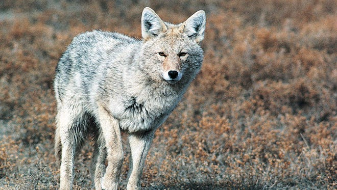 A coyote appears in this undated photo from  the North Dakota Game and Fish Department.