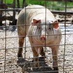 Report calls for hog farm moratorium, new permit system