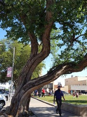 Tom Green County officials are deciding the fate of this more than 130-year-old tree next to the historic courthouse.