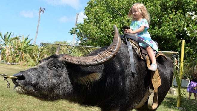 Allie Davis rides a Carabao at Tender Shepard Pre-School for their Mes Chamoru Fiesta  in Anigua on March 16, 2018.