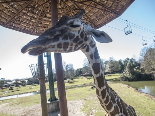 Giraffe feedings have been suspended at the Montgomery Zoo, one of several activities halted because of safety concerns.