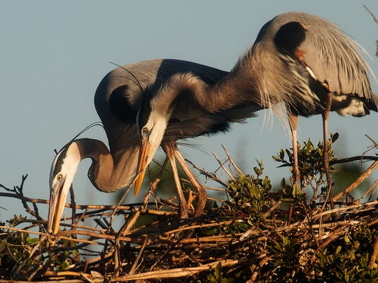 A pair of Great Blue Herons work on a nest on Hemp Key, one of a smattering of uninhabited islands in Pine Island Sound. Outside the critical habitat area designated by U.S. Fish and Wildlife, East Part Island in Hemps vicinity could become a low-keyed retreat for wealthy adventure travelers if owner Chad Pike's plans are approved by Lee County.