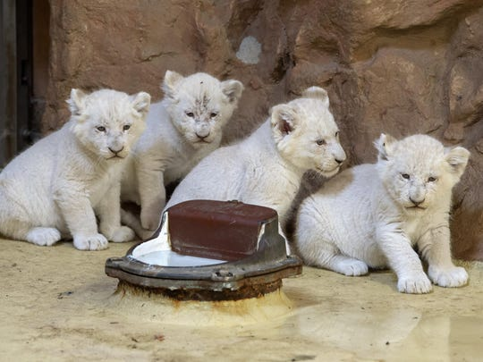 Four rare African white lion cubs in their enclosure