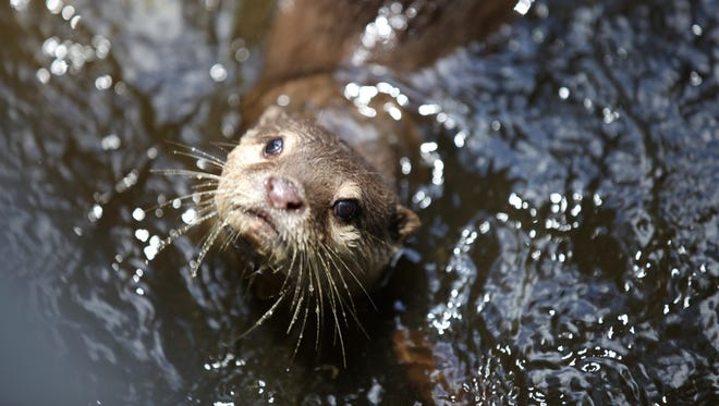 It's extremely unusual for a river otter to attack a human.