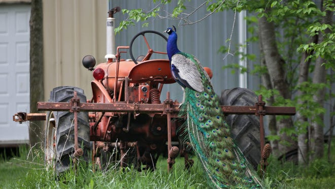 A peacock sits on a tractor on a rural road near Sparta on Tuesday.