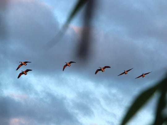 A flock of Canada geese is seen from a hunter's blind