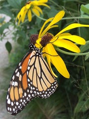 A monarch butterfly gathers nectar from a black-eyed Susan flower.