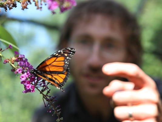 082213monarch-butterflies1
