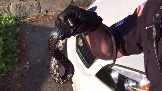 A screenshot from a YouTube video uploaded by the Ossining Police Departmen shows an officer holding a snake after removing it from a resident's home Monday, May 26.