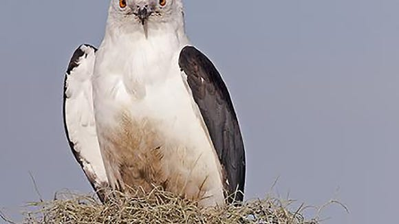 A swallow-tailed kite sighting should be enjoyed.