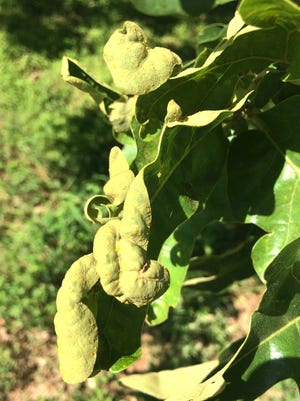 Oak leaf blister, a fungal issue with the foliage, can make oak trees look awful in the spring, but it poses little threat to the health of the trees. Just wait it out.