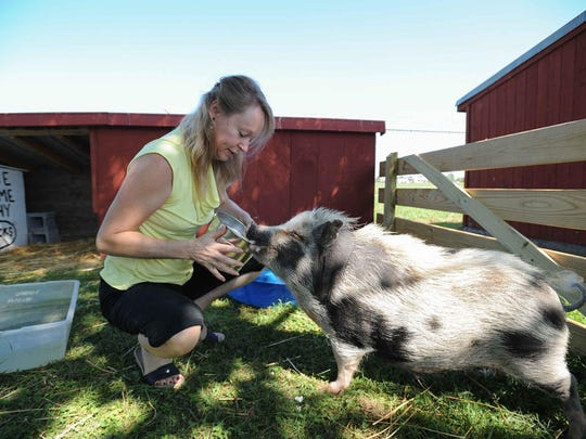 Di Rafter, Director of the Delaware Agricultural Museum feeds Lulu, the Delaware Agricultural Museum's 75-pound potbellied pig in 2015. Wilmington residents could use pigs as emotional support animals if new legislation is passed.