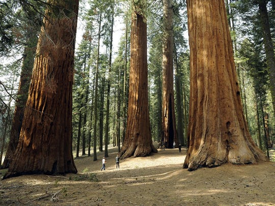 Steve R. Fujimoto The Giant Forest with its giant sequoia trees, is located in Sequoia National Park. The Giant Forest with its giant sequoia trees, is located in Sequoia National Park.