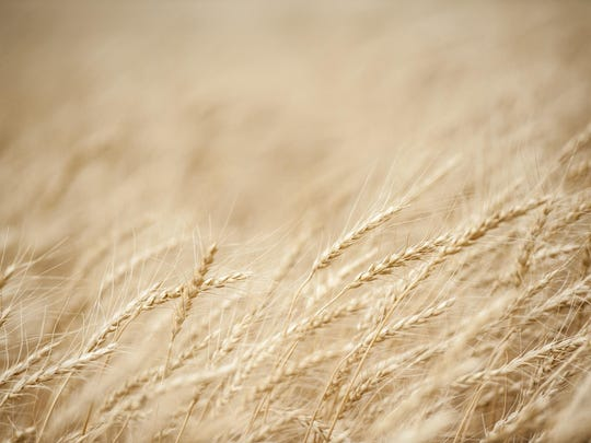 Wheat ready to harvest off of Highway 87 on July 12.